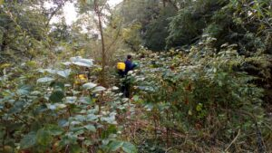 Japanese knotweed control along the River Usk